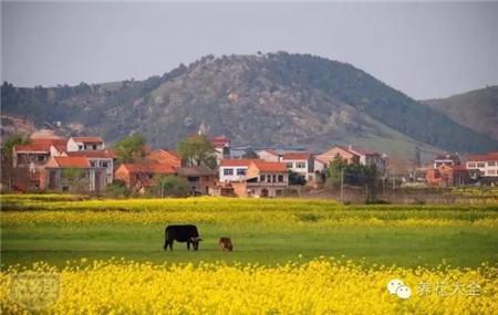 村外的老黄牛,悠闲的吃着青草