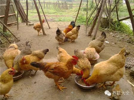养一群鸡一群鸭,鸡蛋永远是自给自足