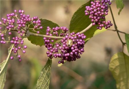 紫珠的养殖方法