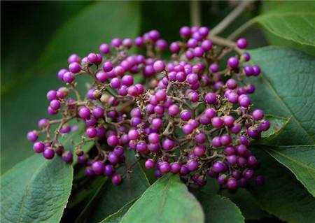紫珠的养殖注意事项