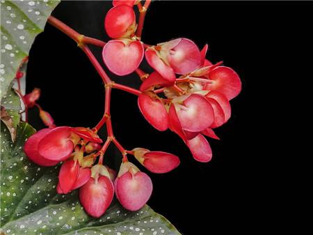 竹节秋海棠的养殖注意事项