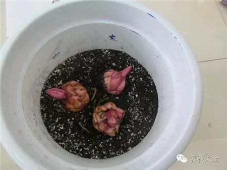 种球放入花盆