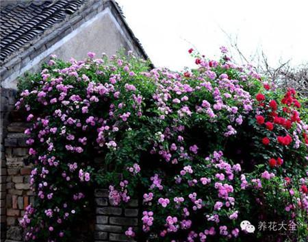 蔷薇养护技巧