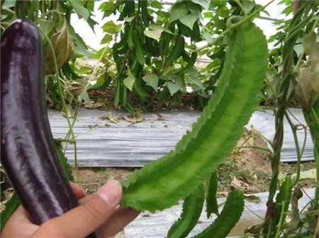 四棱豆养护方法