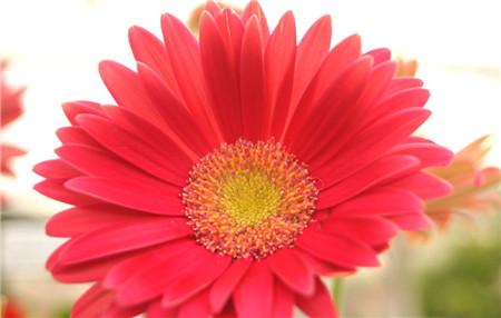 非洲菊为什么叫扶郎花