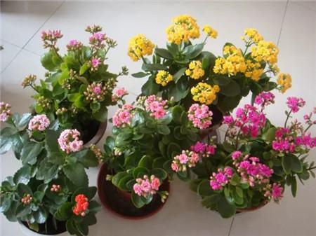 长寿花开花