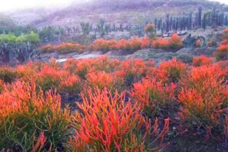 膨珊瑚和光棍树的区别