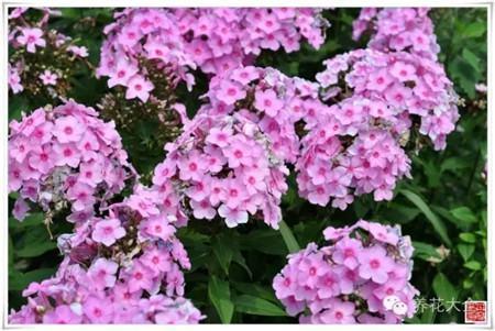 非常耐寒的植物,可以室外越冬