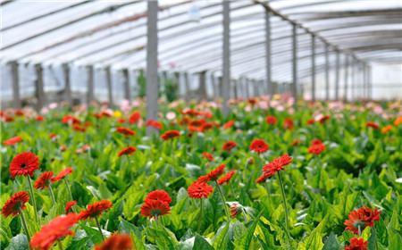 非洲菊的花期