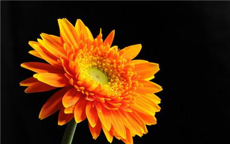 非洲菊的花期管理