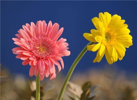 非洲菊开花图片欣赏