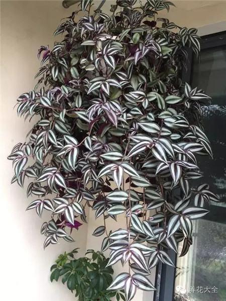 紫竹梅养护