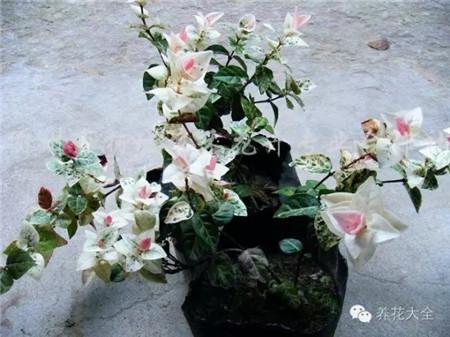 花叶络石养护