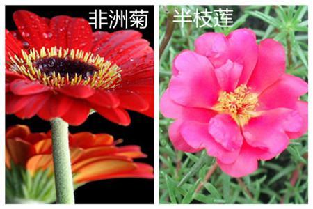 非洲菊和半枝莲的区别