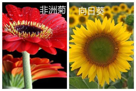 非洲菊和向日葵的区别