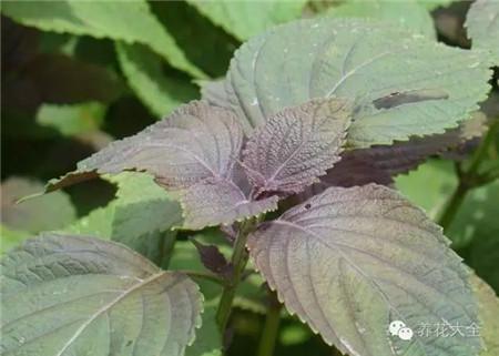 紫苏的使用方法