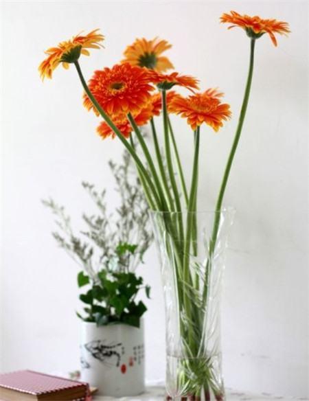 非洲菊瓶插欣赏