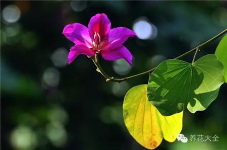 羊蹄甲(洋紫荆 )