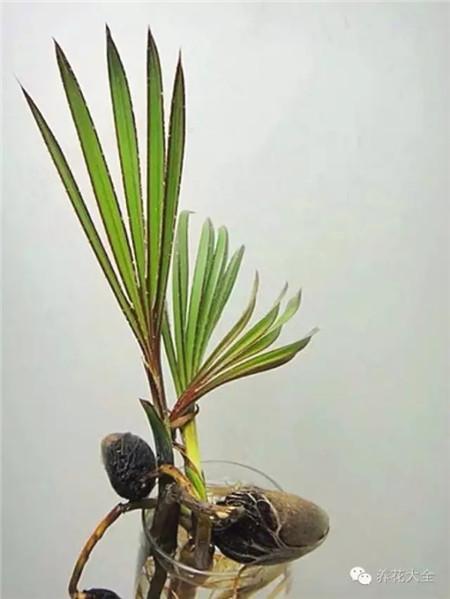 红棕榈盆栽