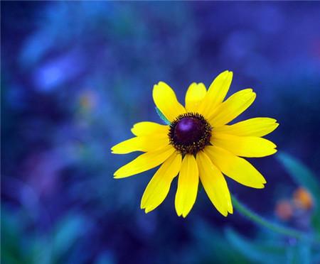 黑心菊的扦插繁殖