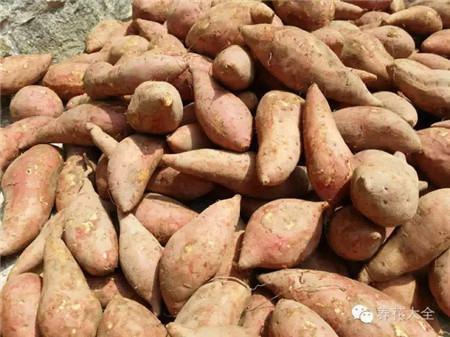 挑红薯(地瓜)