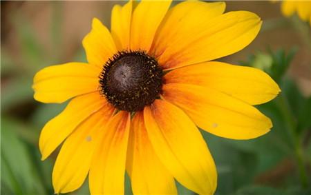 黑心菊的虫害及其防治