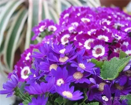 瓜叶菊(2~3月赏)养护要点