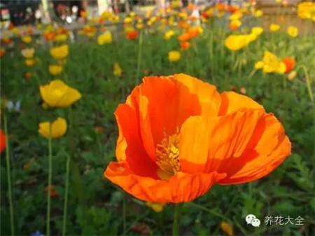 虞美人(4~5月赏)