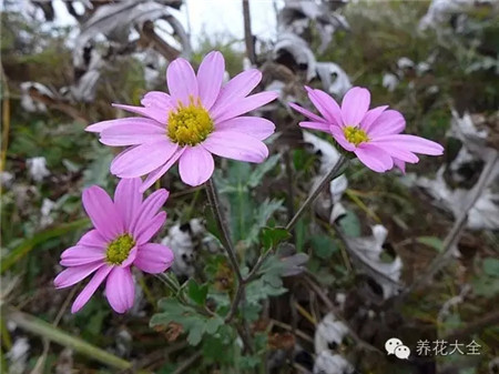 菊花(10~11月赏)养护要点