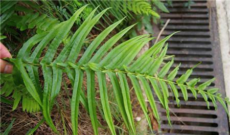 凤尾蕨水培的材料