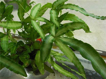 凤尾蕨水培然后养护