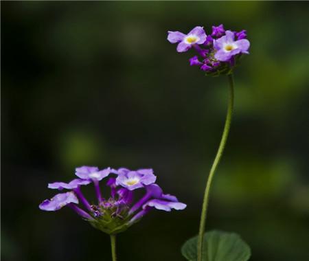 香水草的扦插繁殖