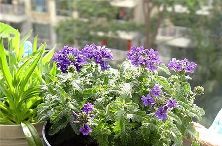 香水草的播种繁殖
