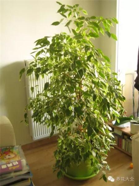 干燥器_10种植物加湿效果堪比加湿器 - 花百科