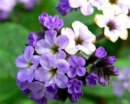香水草的花语及背后的传说