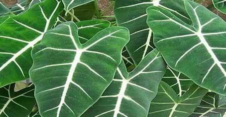 黑叶观音莲的分株繁殖