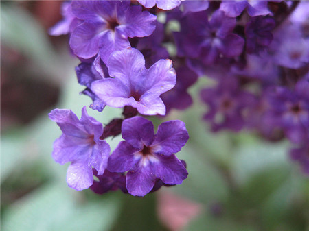 香水草的花期