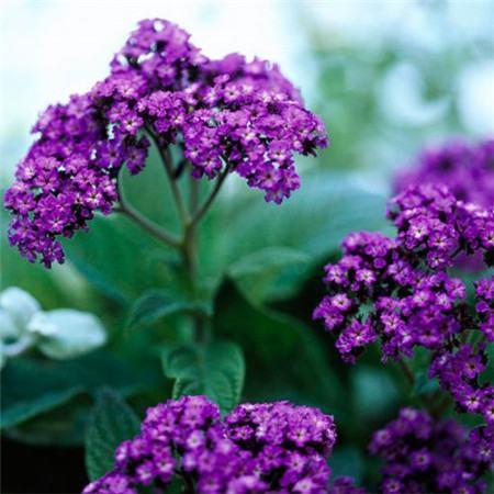 香水草怎么养会开花繁盛