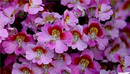 蛾蝶花的播种繁殖
