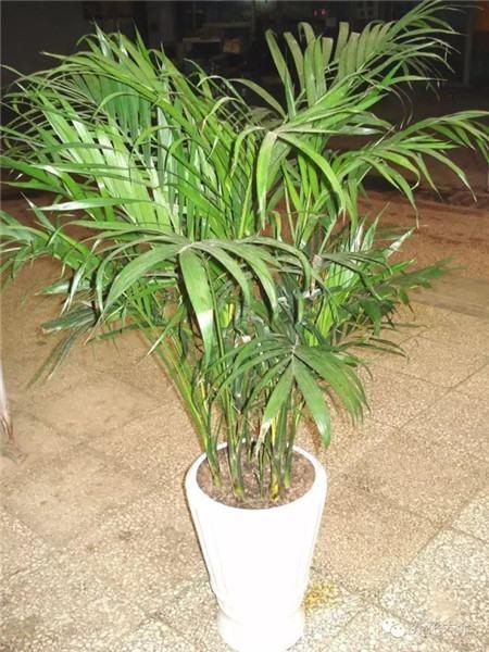 富贵椰子图片