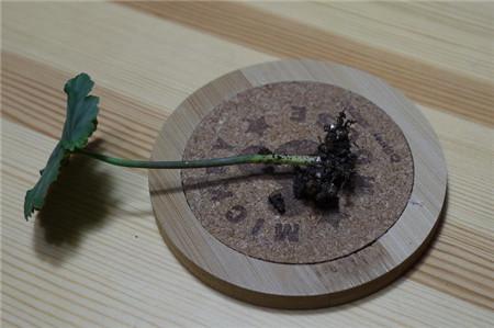 矾根的扦插繁殖