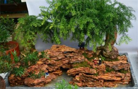 红豆杉盆景
