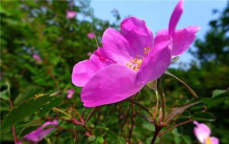 缫丝花开花欣赏