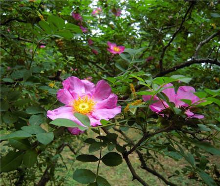 缫丝花开花欣赏图片
