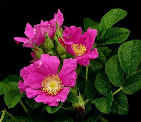 缫丝花的病害及其防治