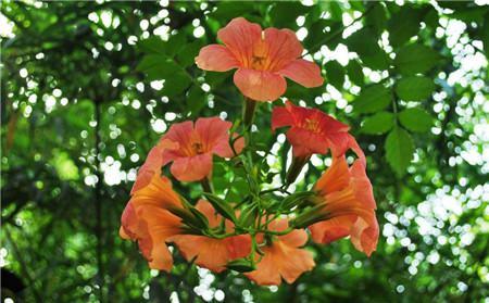炮仗花和凌霄花的区别之花朵形态