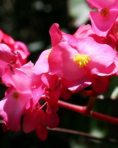 秋海棠施肥要求