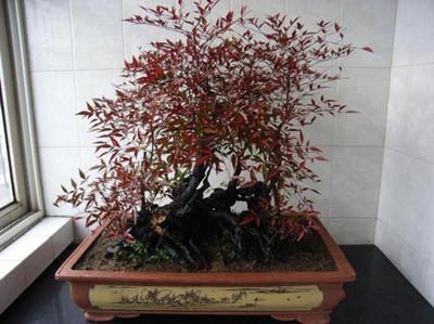 南天竹盆景修剪方法一:短截