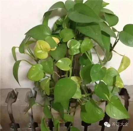 冬季暖气房怎么养花