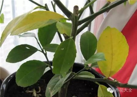 植物出现黄叶是怎么回事